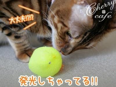 ベンガル猫 銀河 ヒヨコ