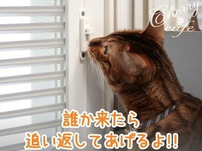 ベンガル猫 銀河 玄関網戸