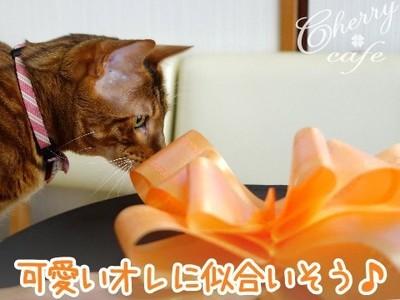 ベンガル猫 銀河 リボン