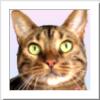 ベンガル猫 さくら